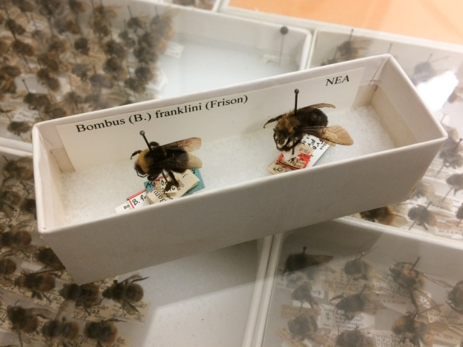 Images of bumble bee specimens.