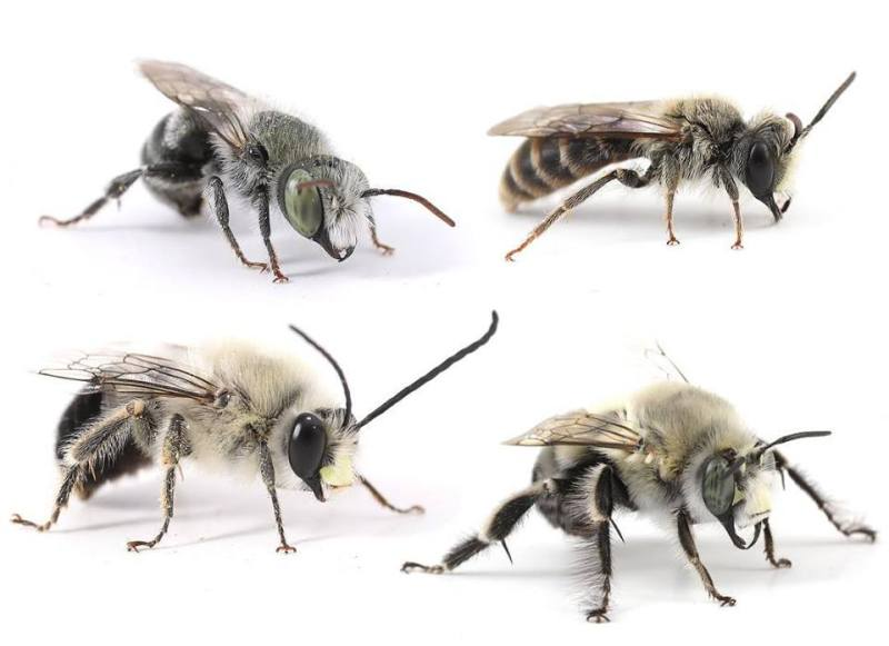 Image of four different bee species.