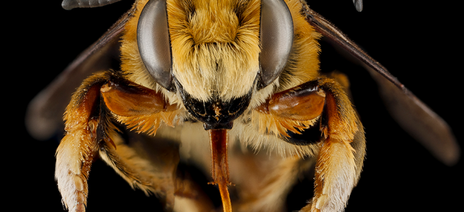 Macro image of a bee, upclose and personal.