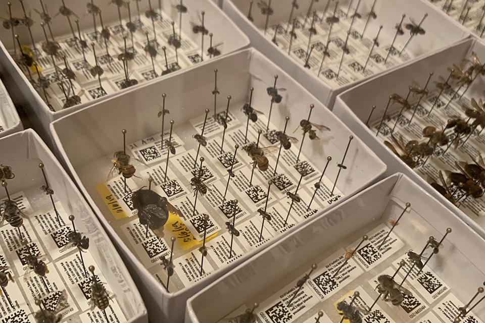 Image of bees pinned and labeled in collection boxes.