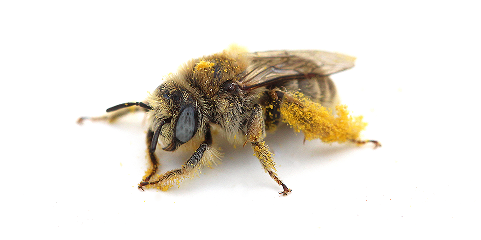 Image of solitary, ground-nesting bee covered in pollen.